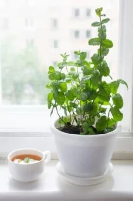 growing mint indoors